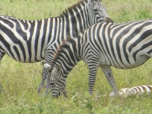 zebra during photo safari Tanzania
