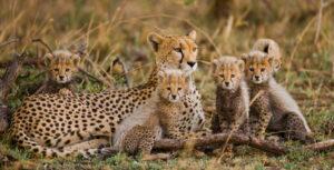 Cheetah family Tanzania Safari - Proud African Safaris