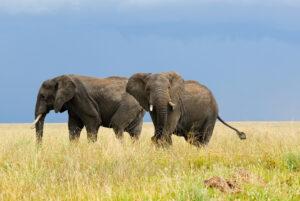 Elephant pair Tanzania Safari - Proud African Safaris