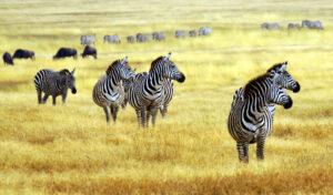 Zebras on the Savannah Tanzania Safari - Proud African Safaris