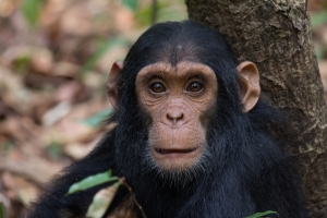 Gombe Mahale chimp - Tanzania safari - Proud African Safaris