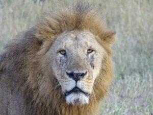 Lion on Tanzania Safari