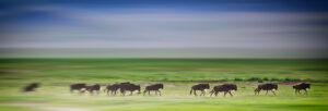 Tanzania wildebeest on the run Tanzania Safari - Proud African Safaris