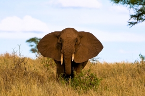Majestic elephant - Tanzania Safari - Proud African Safaris