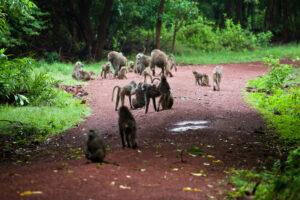 Tanzania - Proud African Safaris - Lake Manyara Baboons