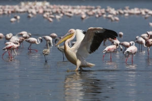 Pelican & Flamingos Tanzania Safari - Proud African Safaris