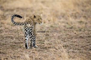 View of a Leopard during Tanzania Safari - Proud African Safaris