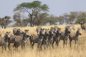 Zebra herd by Eunice on Tanzania Safari - Proud African Safaris