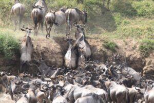 Wildebeest migration by Eunice on Tanzania Safari - Proud African Safaris