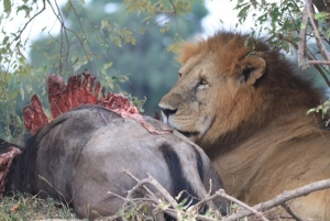 Lion on the hunt by Eunice on Tanzania Safari - Proud African Safaris