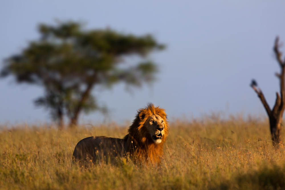 Golden mane lion - Tanzania Safari - Proud African Safaris