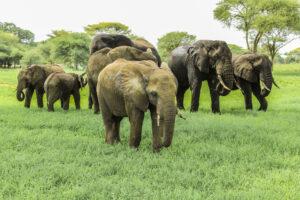 Elephants - Tarangire National Park - Proud African Safaris