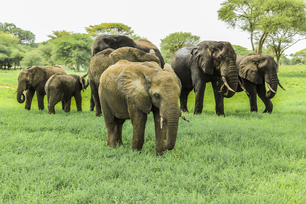 Elephants - Tarangire National Park - Proud African Safaris