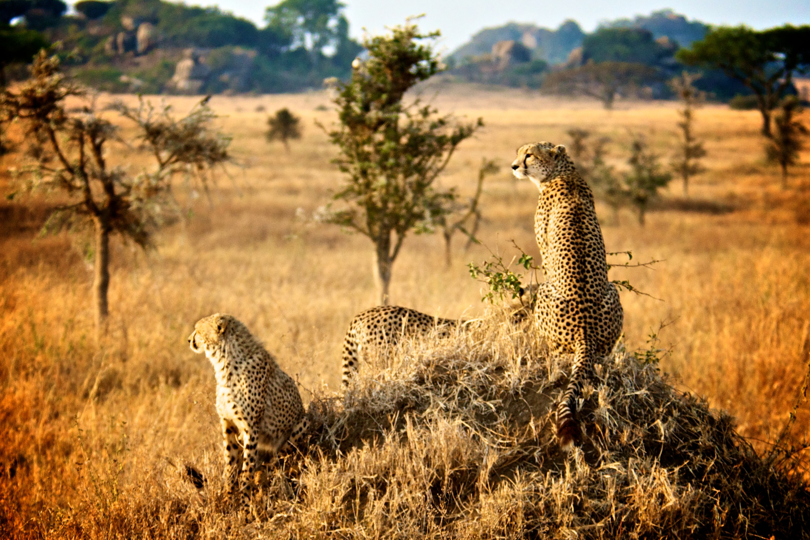 Cheetahs - Tanzania Safari - Proud African Safaris