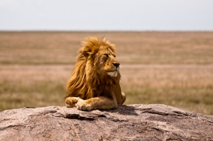 Lion on the Serengeti - Tanzania Safari - Proud African Safaris