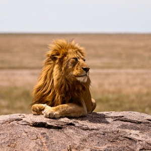 Lion on the Serengeti - Tanzania Safari - Proud African Safaris