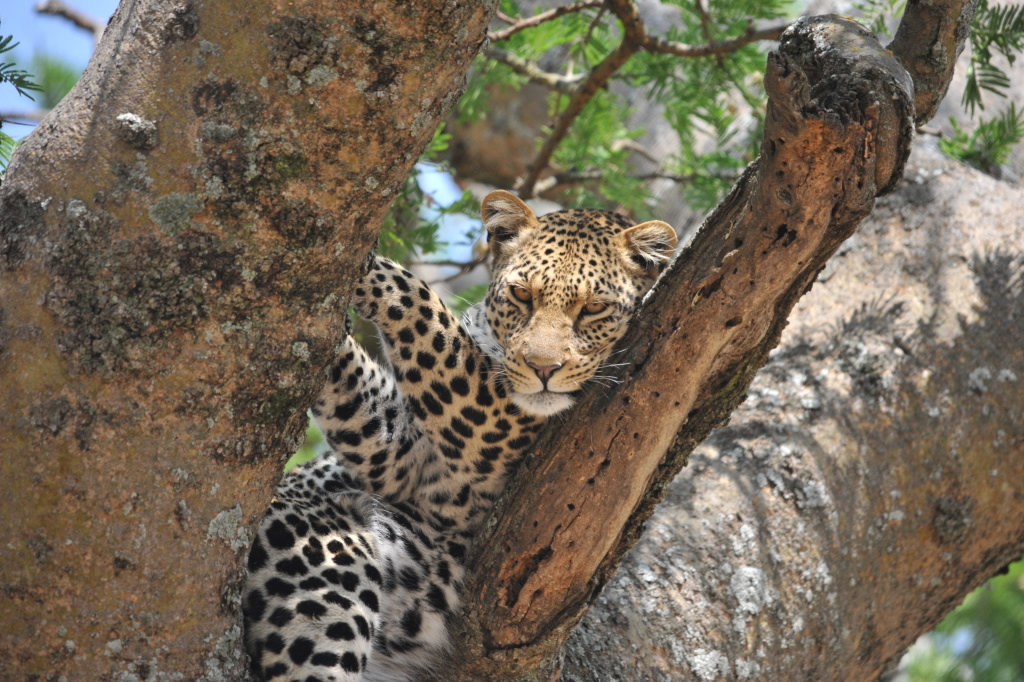 The allusive leopard - Tanzania Safari - Proud African Safaris