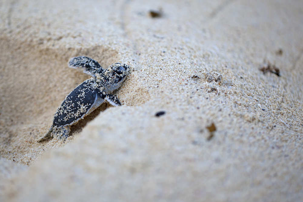 Baby turtles on Mafia Island on your Tanzania safari - Proud African Safaris