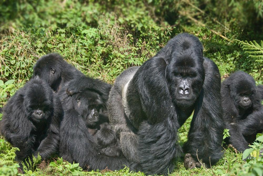 Rwanda gorillas - Tanzania safari - Proud African Safaris