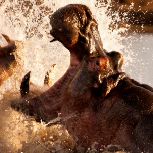 Amazing hippos - Tanzania Safari - Proud African Safaris