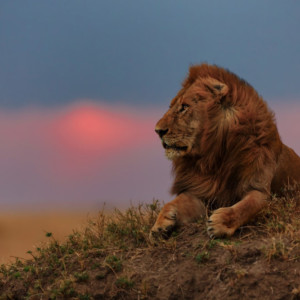 saving african lions