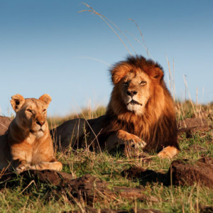 protecting african lions